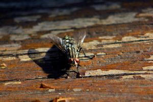 The Fly by Ganjalvi
