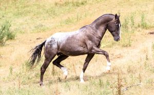 Appaloosa stallion stock by xxMysteryStockxx