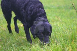 Labrador Searching by Just--Saying