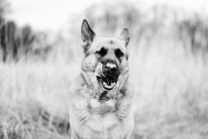 german shepherd by Borderkowa