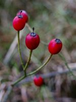 Red Berries by CKPhotos