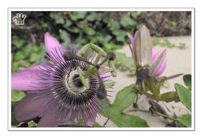 Passion Flower by moonstomp