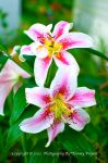 Pink Striped Lily 0921 by TommyPropest-Candler