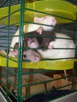 Trapped by Ratstien
