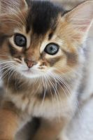 Somali kitten by AmySmint