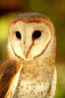 Owl with Heart Shape Face by esee