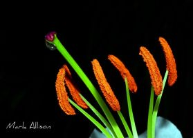 Weeping Lily by Mark-Allison