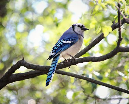 Blue Jay by SheilaMBrinson