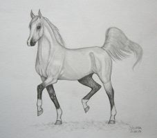 Trotting grey arabian by Salvada