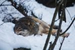 Resting Wolf by JRL5