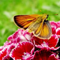 Small skipper by rosaarvensis