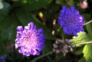 scabious by karliosi