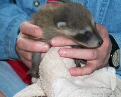 Baby Racoon by VisibleBeauty