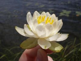 White Water Lily 3 by gsdark-stock