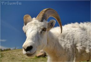 Dall Sheep closeup by Triumfa