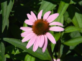 Cone Flower Again by 4Meezy4