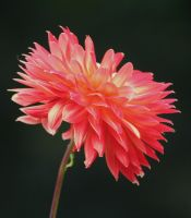 dahlias cologne  12 by ingeline-art