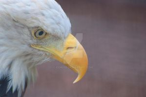 Intense Bald Eagle by cgauss