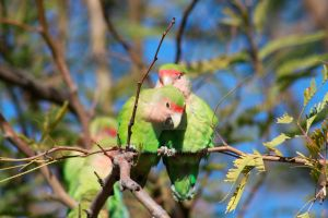 Feral Lovebirds of Gilbert AZ by Katsnake