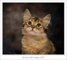 Somali Kitten Cuteness by substar