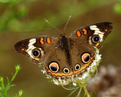 Daybreak Buckeye Butterfly by natureguy