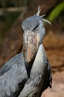 Shoebill Stork 03 by 1ASP1