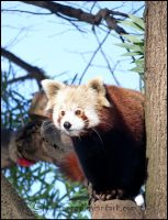 Red Panda III by Tienna