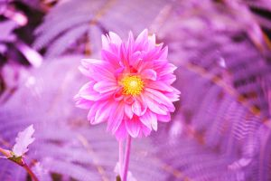 Pink flower for Breast Cancer Awareness Month by ArtieWallace