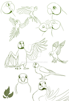 Indian parrot sketches by zavraan