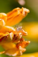 Lynx Spider 'Oxyopidae' by Keith-Killer