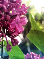 - Beautiful Lilacs - by relisabby