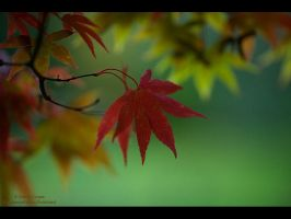 Scarlet Acer by GMCPhotographics