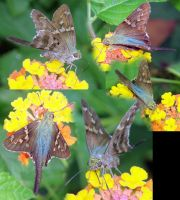 Long-tailed skipper by redtailhawker