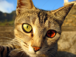 CAT WITH SHARINGAN :D by Sonic767