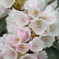 Pink Rhododendron 10 by Kattvinge