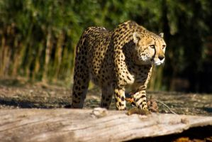 cheetah438 by redbeard31