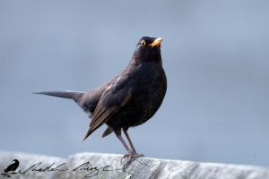 Common blackbird (Turdus merula) by PhotoDragonBird