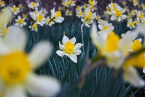 Daffodil Forest_0205 by silverspoken2005