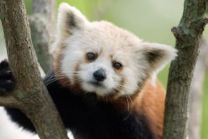 Red Panda 6 by Art-Photo