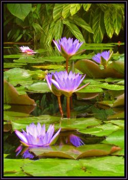 water lilies by blistered-heart