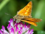 Small Skipper (Thymelicus sylvestris) I by MariaDeinert