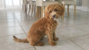 Baci, My adorable Cavoodle! by The-Tree-Admin