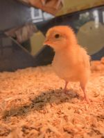 Chicklet by Wayman