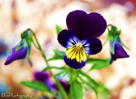 Pansies... by ElinsPhotography