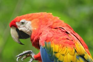 scarlet macaw by cola93