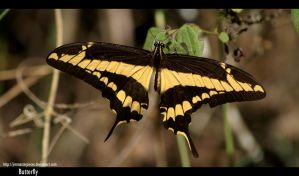 Papilio cresphontes by Jimmasterpieces