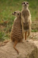 Meercats friendship by Goodka8