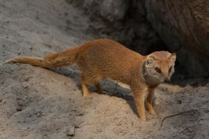 Yellow mongoose - paws of sand by DarkTara
