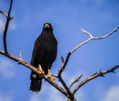 Mexican Eagle by xX-Mr-No-Name-Xx
