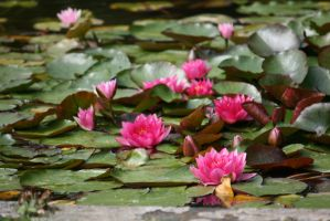 waterlilies closer 2 by ingeline-art